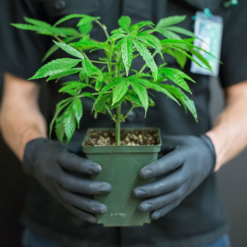 Recreational Marijuana Dispensaries in Colorado - The Green