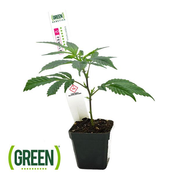 Clones | The Green Solution™ Recreational Marijuana Dispensary in